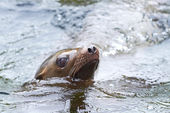 California Sea Lion (Zalophus californianus) — Stok fotoğraf
