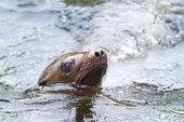 California Sea Lion (Zalophus californianus) — Stock Photo