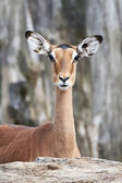 Impala (Aepyceros melampus) — Stock Photo