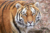 Amur Tiger (Panthera tigris altaica) — Stock Photo