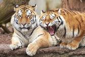 Amur Tiger (Panthera tigris altaica) — Stock Photo