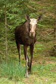 Eurasian Elk (Alces alces) — Stock Photo