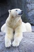 Polar Bear (Ursus maritimus) — Stock Photo