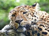 Amur leopard (Panthera pardus orientalis) — Stock Photo