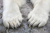 Paws of the Polar Bear (Ursus maritimus) — Zdjęcie stockowe