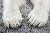 Paws of the Polar Bear (Ursus maritimus) — Stock Photo