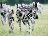 Plains Zebra (Equus burchelli chapmani) — Stock Photo
