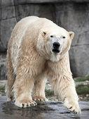 Polar Bear (Ursus maritimus) — Stockfoto