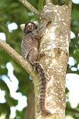 Common marmoset (Callithrix jacchus) — Stock Photo
