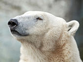 Polar Bear (Ursus maritimus) — Стоковое фото