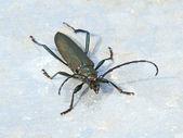 Musk beetle (Aromia moschata) — Stock Photo