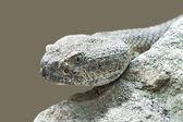Mitchells rattlesnake (crotalus mitchellii) — Stock Photo
