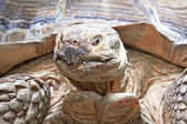 African spurred tortoise (Centrochelys sulcata) — Stock Photo
