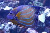 Bluering Angelfish (Pomacanthus annularis) — Stock Photo