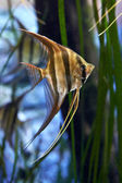 Altum Angelfish (Pterophyllum altum) — Stock Photo