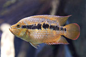 Yellowbelly Cichlid (Cichlasoma salvini) — Stock Photo