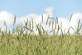 Barley (Hordeum vulgare L.) — Stock Photo
