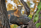 Leopard (Panthera pardus) — Stock Photo