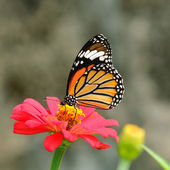 Butterfly (Common Tiger) — Stock Photo