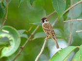 Bird (Eurasian Tree Sparrow) , Thailand — Stock Photo