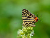 Butterfly (Small Long-banded Silverline) , Thailand — Stock Photo