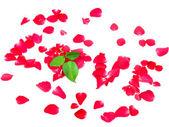 Kärlek till rosenblad isolerad på vit bakgrund — Stockfoto