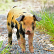 Speckled young pigs — Stock Photo #51760369
