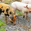 Speckled young pigs — Stock Photo #51760659