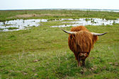 Highland cow on Dutch island Tiengemeten — Stockfoto