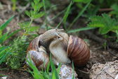 Snails courtship — Stock Photo