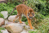 Asian Tiger — Stock Photo