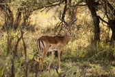 Impala ram — Stock Photo