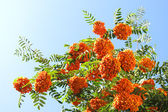 Cielo soleggiato e rowanberries — Foto Stock
