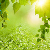 Beauty summer backgrounds with birch foliage