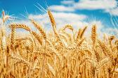 Zlaté pšeničné pole a modré nebe