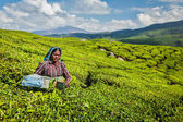 Indiánka sklizně čaje v čajové plantáže v munnar