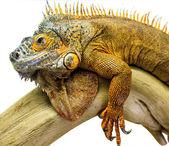 Leguán reptile animal