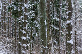 Snow in piny and fir forest.