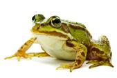 Rana esculenta. Zelená žába (Evropské nebo vodou) na bílém poz