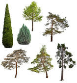Set of seven coniferous trees isolated on white