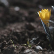 Постер, плакат: Autumn crocus