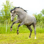 White Andalusian horse (Pura Raza Espanola) runs gallop in summe