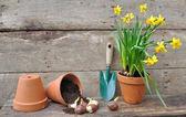 Narciso e tulipano bulbi in un vaso rovesciato sulla tavola di legno