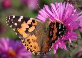 Malované lady butterfly