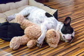 Puppy sleeping with teddy bear