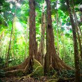 Gigantische Bäume im Fan-Palmenwald
