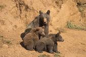 Medvěd starat její mláďata