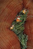 Falešné clown anemonefish