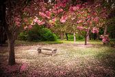 Panca da giardino tranquillo circondato da alberi di ciliegio