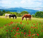 Là cavalli al pascolo erba nel campo con montagne su sfondo e papavero campi in primo piano